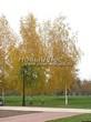 Посадка крупномеров Березы повислой (бородавчатой) (Betula pendula) - 214