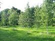 Посадка крупномеров Березы повислой (бородавчатой) (Betula pendula) - 215