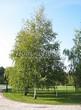 Посадка крупномеров Березы повислой (бородавчатой) (Betula pendula) - 216
