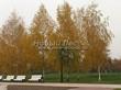 Посадка крупномеров Березы повислой (бородавчатой) (Betula pendula) - 217