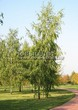 Посадка крупномеров Березы повислой (бородавчатой) (Betula pendula) - 218