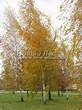 Посадка крупномеров Березы повислой (бородавчатой) (Betula pendula) - 219