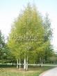 Посадка крупномеров Березы повислой (бородавчатой) (Betula pendula) - 220
