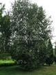 Посадка крупномеров Березы повислой (бородавчатой) (Betula pendula) - 221