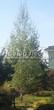 Посадка крупномеров Березы повислой (бородавчатой) (Betula pendula) - 222