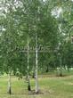 Посадка крупномеров Березы повислой (бородавчатой) (Betula pendula) - 223