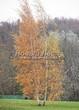 Посадка крупномеров Березы повислой (бородавчатой) (Betula pendula) - 224