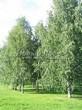 Посадка крупномеров Березы повислой (бородавчатой) (Betula pendula) - 225