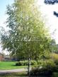 Посадка крупномеров Березы повислой (бородавчатой) (Betula pendula) - 226