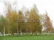 Посадка крупномеров Березы повислой (бородавчатой) (Betula pendula) - 227