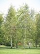Посадка крупномеров Березы повислой (бородавчатой) (Betula pendula) - 228