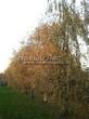 Посадка крупномеров Березы повислой (бородавчатой) (Betula pendula) - 229
