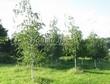 Посадка крупномеров Березы повислой (бородавчатой) (Betula pendula) - 230