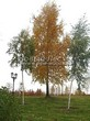 Посадка крупномеров Березы повислой (бородавчатой) (Betula pendula) - 231