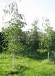 Посадка крупномеров Березы повислой (бородавчатой) (Betula pendula) - 232