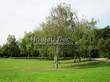 Посадка крупномеров Березы повислой (бородавчатой) (Betula pendula) - 233