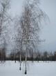 Посадка крупномеров Березы повислой (бородавчатой) (Betula pendula) - 234