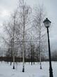 Посадка крупномеров Березы повислой (бородавчатой) (Betula pendula) - 235