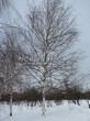 Посадка крупномеров Березы повислой (бородавчатой) (Betula pendula) - 236