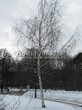 Посадка крупномеров Березы повислой (бородавчатой) (Betula pendula) - 237