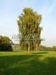 Посадка крупномеров Березы повислой (бородавчатой) (Betula pendula) - 238