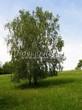 Посадка крупномеров Березы повислой (бородавчатой) (Betula pendula) - 239