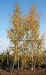 Посадка крупномеров Березы повислой (бородавчатой) Лациниата (Betula pendula 'Laciniata') - 201