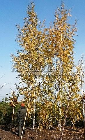 Посадка крупномеров лиственных деревьев Березы повислой Лациниата