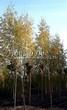 Посадка крупномеров Березы повислой (бородавчатой) Лациниата (Betula pendula 'Laciniata') - 202