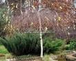 Посадка крупномеров Березы повислой (бородавчатой) Юнга (Betula pendula 'Youngii') - 201