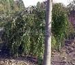 Посадка крупномеров Березы повислой (бородавчатой) Юнга (Betula pendula 'Youngii') - 204