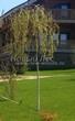 Посадка крупномеров Березы повислой (бородавчатой) Юнга (Betula pendula 'Youngii') - 206