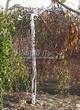 Посадка крупномеров Березы повислой (бородавчатой) Юнга (Betula pendula 'Youngii') - 207