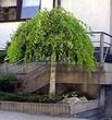 Посадка крупномеров Березы повислой (бородавчатой) Юнга (Betula pendula 'Youngii') - 208