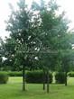 Посадка крупномеров Дуба черешчатого (Дуба обыкновенного) (Quercus robur) - 201