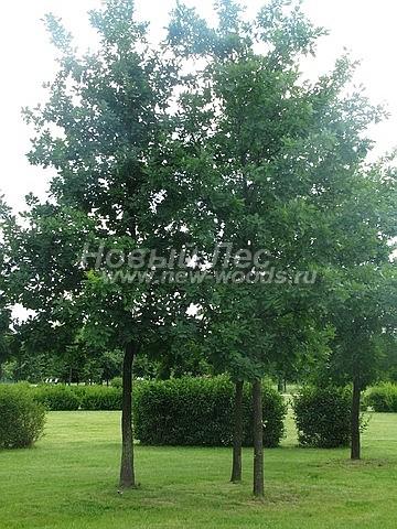 Посадка лиственных крупномеров Дуба черешчатого (обыкновенного)