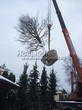 Посадка крупномеров Дуба черешчатого (Дуба обыкновенного) (Quercus robur) - 202