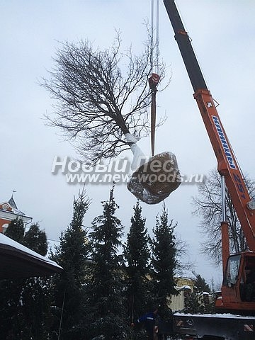 Дуб черешчатый (Дуб обыкновенный): посадка крупномеров лиственных деревьев