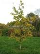 Посадка крупномеров Дуба черешчатого (Дуба обыкновенного) (Quercus robur) - 203