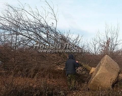 Посадка крупномеров лиственных деревьев