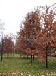 Посадка крупномеров Дуба черешчатого (Дуба обыкновенного) (Quercus robur) - 205