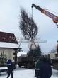 Посадка крупномеров Дуба черешчатого (Дуба обыкновенного) (Quercus robur) - 206