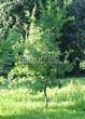 Посадка крупномеров Дуба черешчатого (Дуба обыкновенного) (Quercus robur) - 207