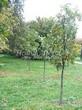 Посадка крупномеров Дуба черешчатого (Дуба обыкновенного) (Quercus robur) - 209