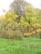 Посадка крупномеров Дуба черешчатого (Дуба обыкновенного) (Quercus robur) - 211
