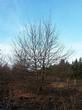 Посадка крупномеров Дуба черешчатого (Дуба обыкновенного) (Quercus robur) - 212