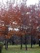 Посадка крупномеров Дуба черешчатого (Дуба обыкновенного) (Quercus robur) - 213