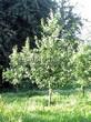 Посадка крупномеров Дуба черешчатого (Дуба обыкновенного) (Quercus robur) - 215