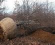 Посадка крупномеров Дуба черешчатого (Дуба обыкновенного) (Quercus robur) - 216