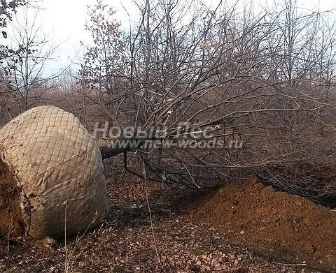 Посадка лиственных крупномеров